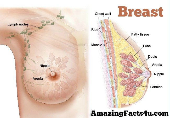Breast Amazing facts