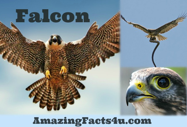 Falcon Amazing Facts