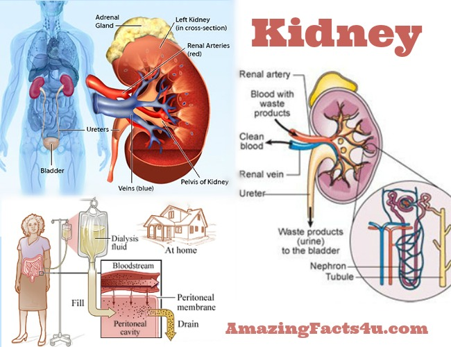 Kidney Amazing Facts