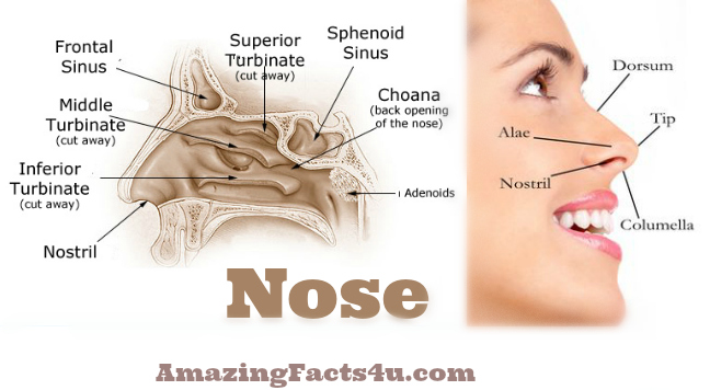 Nose Amazing facts