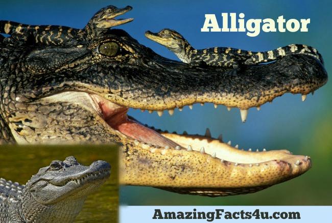 Alligator Amazing facts