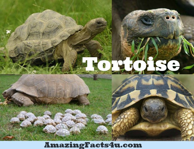 Tortoise Amazing facts
