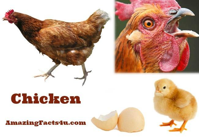 Chicken Amazing facts