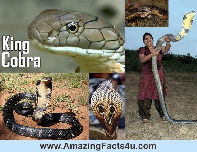 Amazing Facts King Cobra