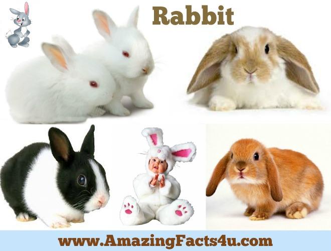 amazing-facts-rabbit
