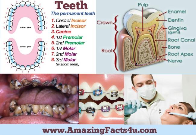 amazing-facts-teeth