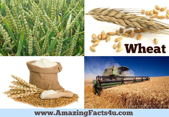 Amazing Facts Wheat